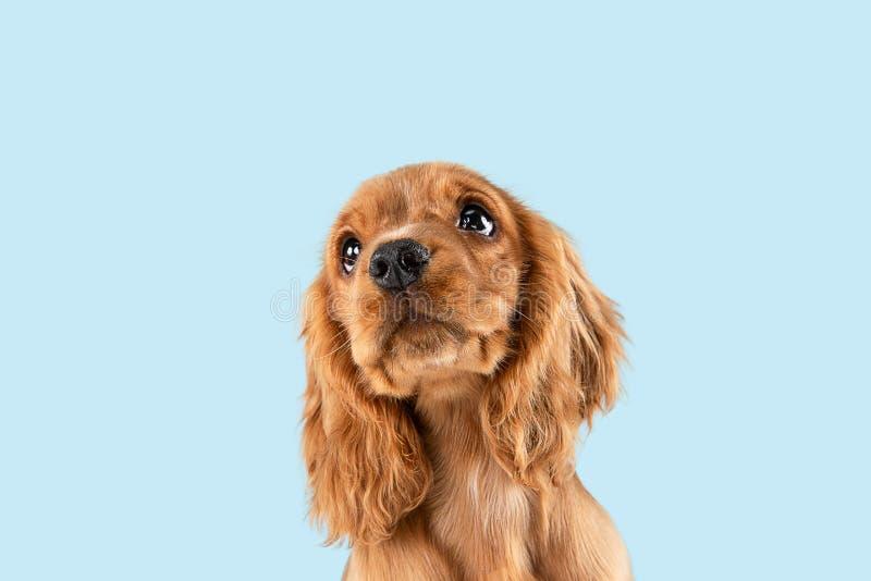 Studio strzał angielski Cocker spaniel pies odizolowywający na błękitnym pracownianym tle obraz royalty free