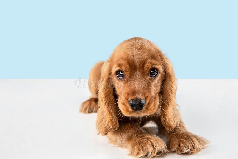 Studio strzał angielski Cocker spaniel pies odizolowywający na błękitnym pracownianym tle zdjęcia stock