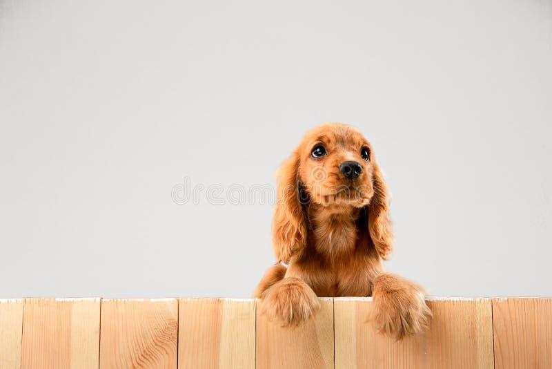 Studio strzał angielski Cocker spaniel pies odizolowywający na białym pracownianym tle obrazy royalty free