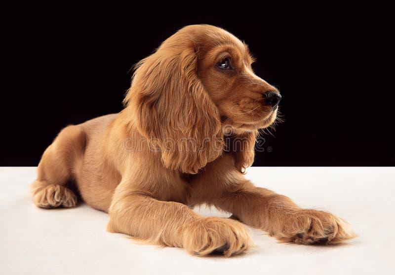 Studio strzał angielski Cocker spaniel pies odizolowywający na czarnym pracownianym tle fotografia royalty free