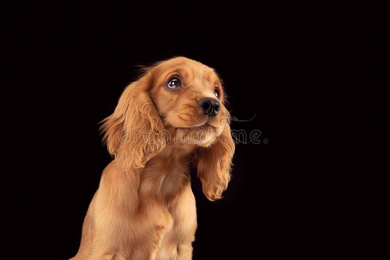 Studio strzał angielski Cocker spaniel pies odizolowywający na czarnym pracownianym tle obrazy stock