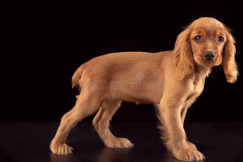 Studio strzał angielski Cocker spaniel pies odizolowywający na czarnym pracownianym tle obrazy royalty free