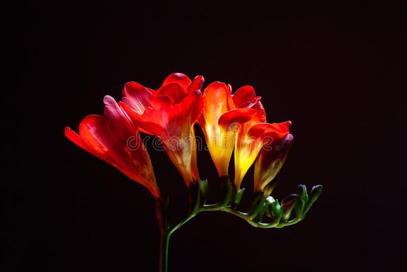 Studio strzał frezja kwiaty zdjęcie royalty free