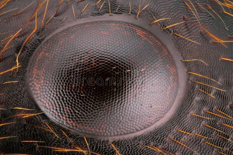 Studio tagliente e dettagliato estremo di grande occhio della formica immagini stock