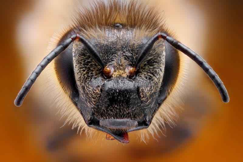 Studio tagliente e dettagliato sulla testa dell'ape preso con il macro obiettivo impilato da molti colpi in una foto fotografia stock