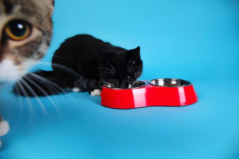 Studio tir? d'un chat ray? gris et blanc se reposant sur le fond brun photographie stock