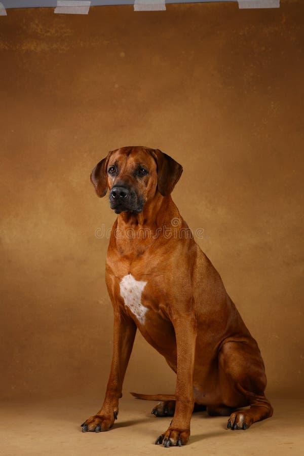 Studio van een Hond van Rhodesian Ridgeback op bruine Achtergrond wordt geschoten die royalty-vrije stock afbeelding