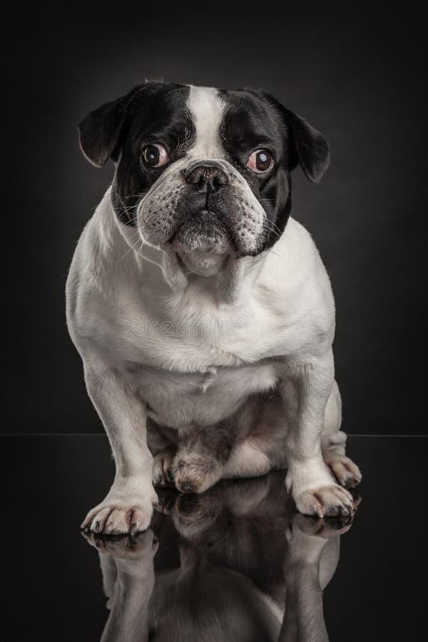 Studiofoto av den franska bulldoggen över svart bakgrund royaltyfria bilder