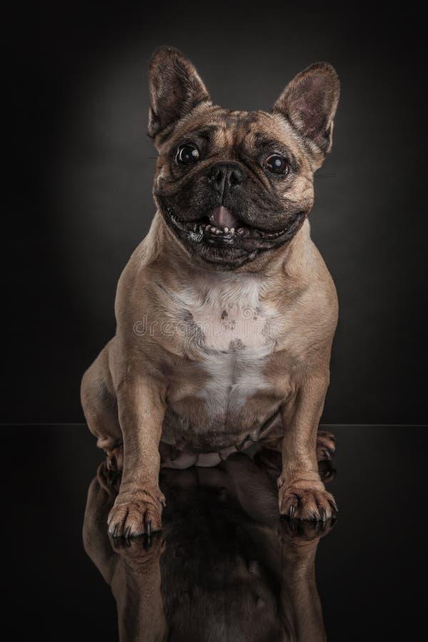Studiofoto av den franska bulldoggen över svart bakgrund royaltyfri fotografi