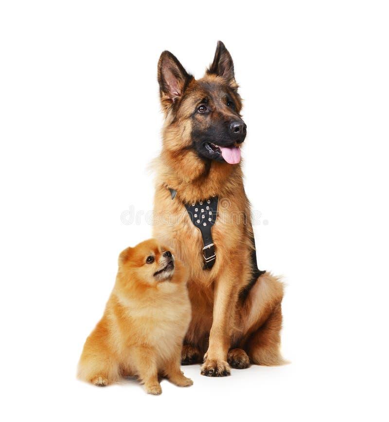 Studioporträt des Juniorschäferhunds und pomeranian Große und kleine Hunde lokalisiert auf einem Weiß stockfotos
