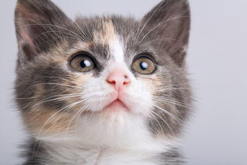 Studioportret van een snuit van een klein grijs drie-gekleurd katje op een grijze achtergrond royalty-vrije stock foto's