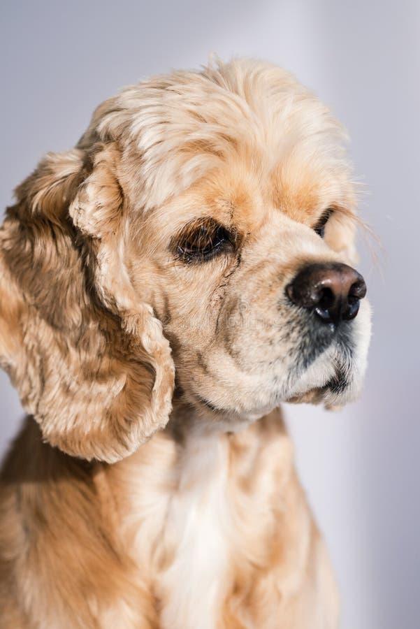 Studioportret van knappe cocker spaniel-hond royalty-vrije stock afbeelding