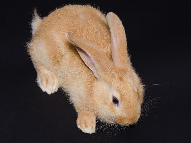 Studioportret van weinig bruin konijntje royalty-vrije stock foto