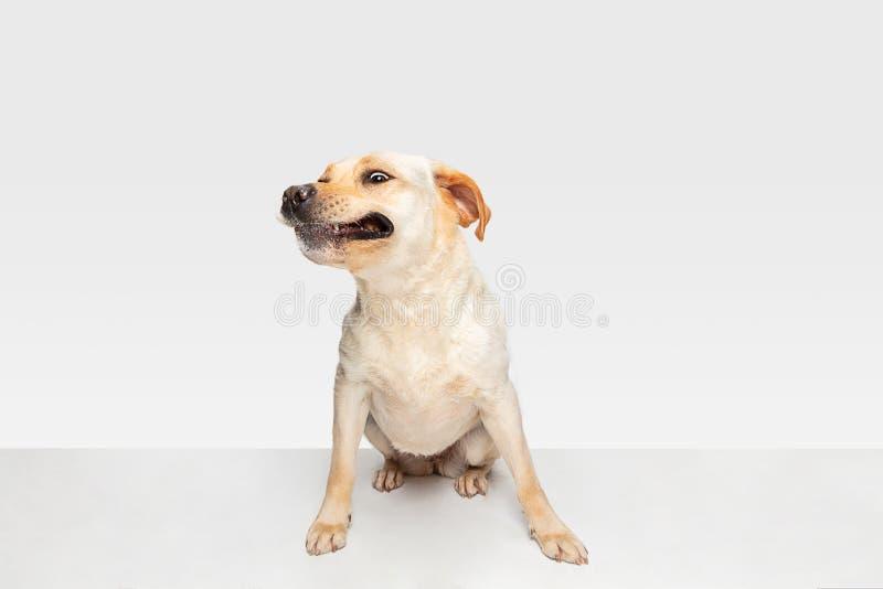 Studioschot van labrador retriever-hond op witte studioachtergrond die wordt geïsoleerd stock fotografie