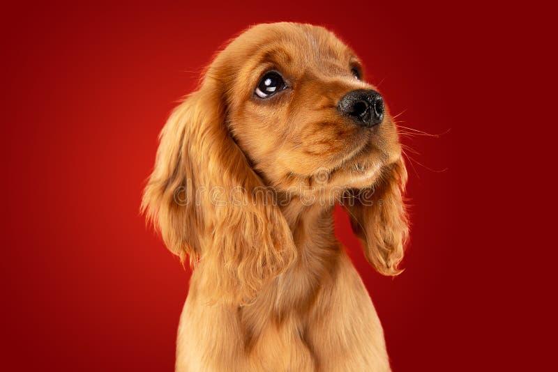 Studioskott av den engelska cockerspanielhunden som isoleras på röd studiobakgrund arkivfoton