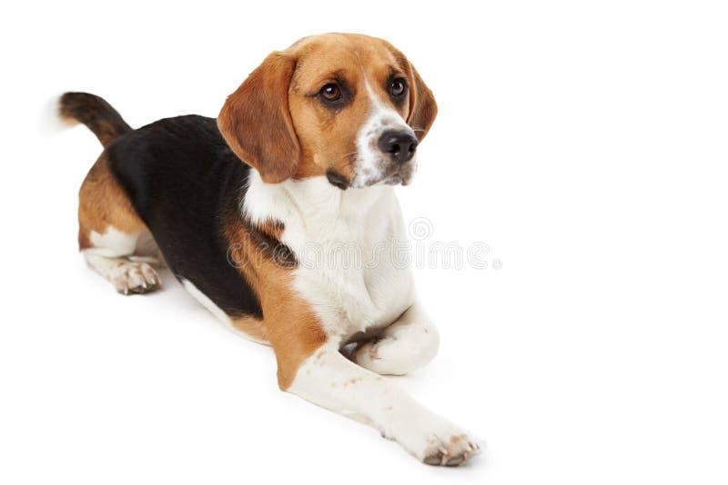 Studiostående av beaglehunden som ligger mot vit  royaltyfri bild