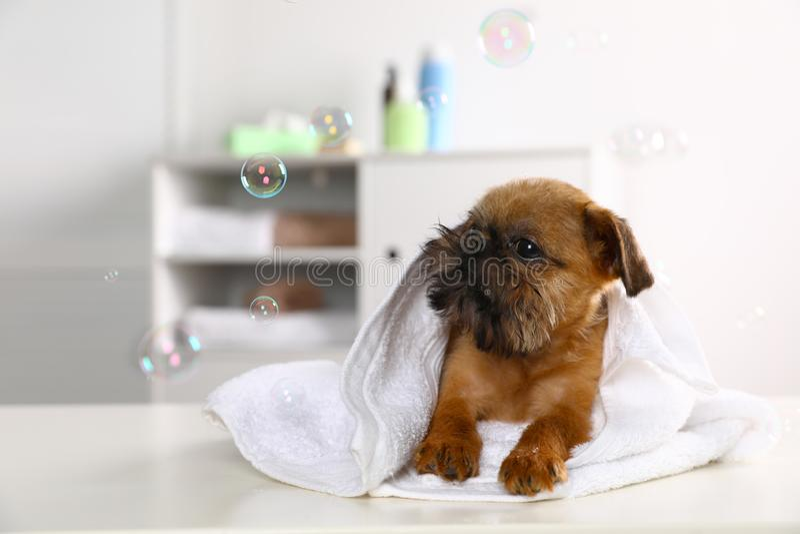 Studiostående av den roliga Bryssel Griffon hunden med handduken royaltyfria foton