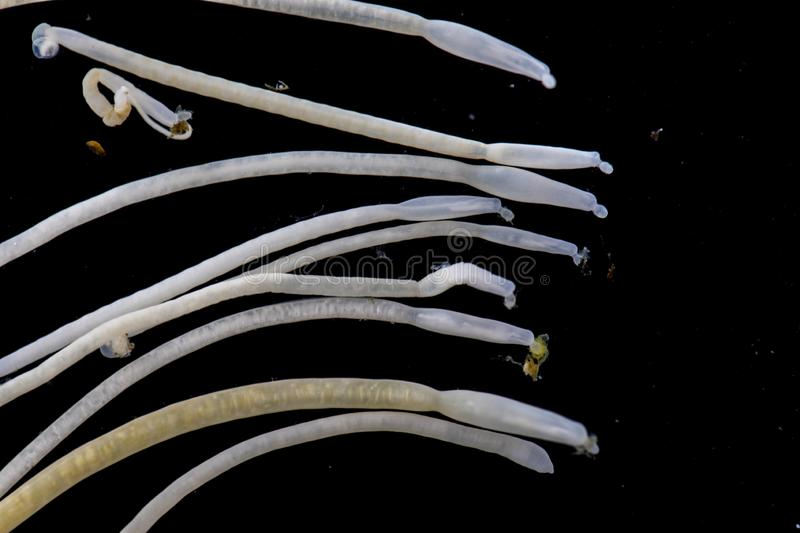 The study of Acanthocephala is a phylum of parasitic worms known as acanthocephalans, thorny-headed worms. The study of Acanthocephala is a phylum of parasitic royalty free stock images