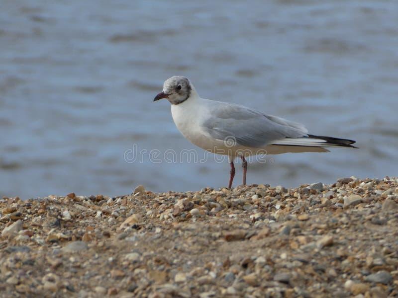Study of Ocean Coastal Sea Bird Tern Gull Seagull North Sea Great Britain royalty free stock image