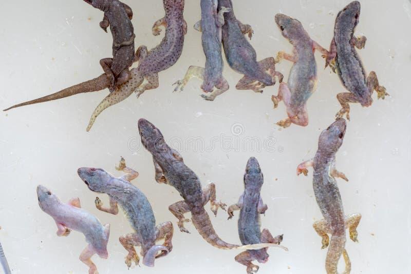 Study of parasites in  Hemidactylus sp.in lab. stock photo