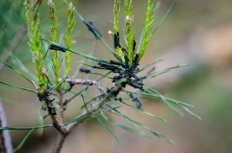 Caterpillars devour young shoots of pine. Sawfly pine. Diprion pini royalty free stock image