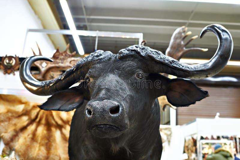 Stuffed black buffalo hunting trophy royalty free stock photo