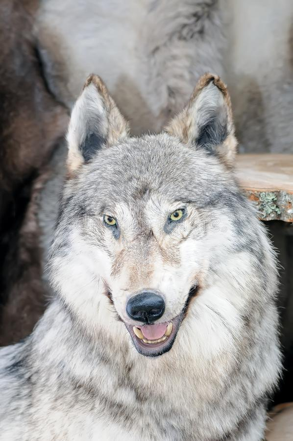 The stuffed head of a polar wolf Canis lupus tundrarum royalty free stock photo