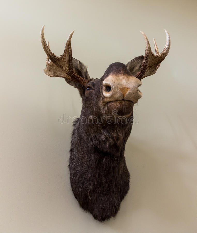 Free Stuffed Moose Head Wall Mount On White Wall Stock Images - 90990964