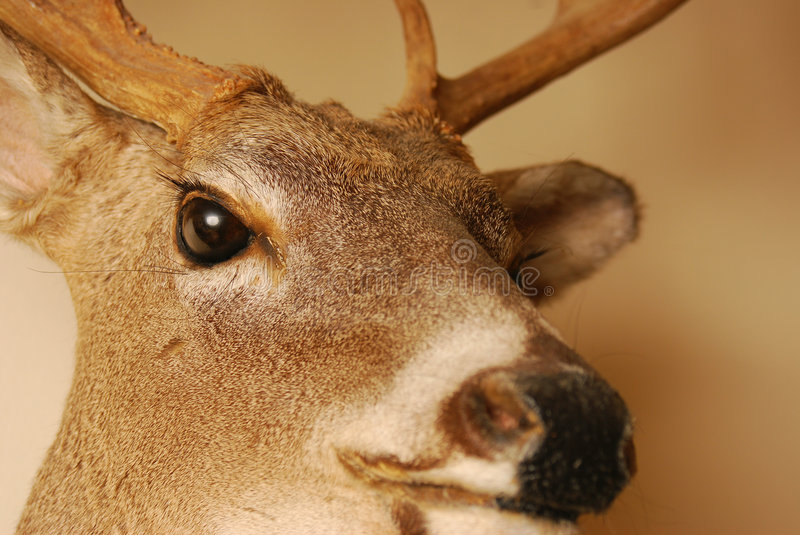 Stuffed and mounted. A mounted deer head with focus to the eye stock image