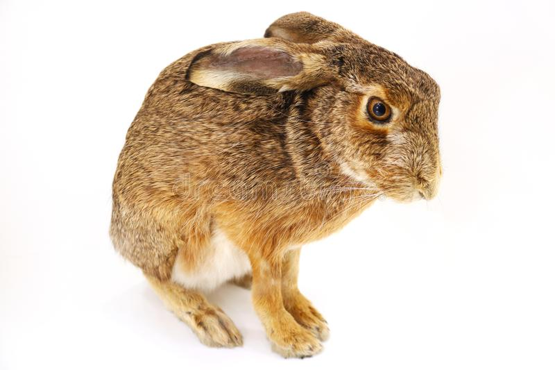 Stuffed rabbit hare bunny taxidermy sitting in front of a white background royalty free stock image