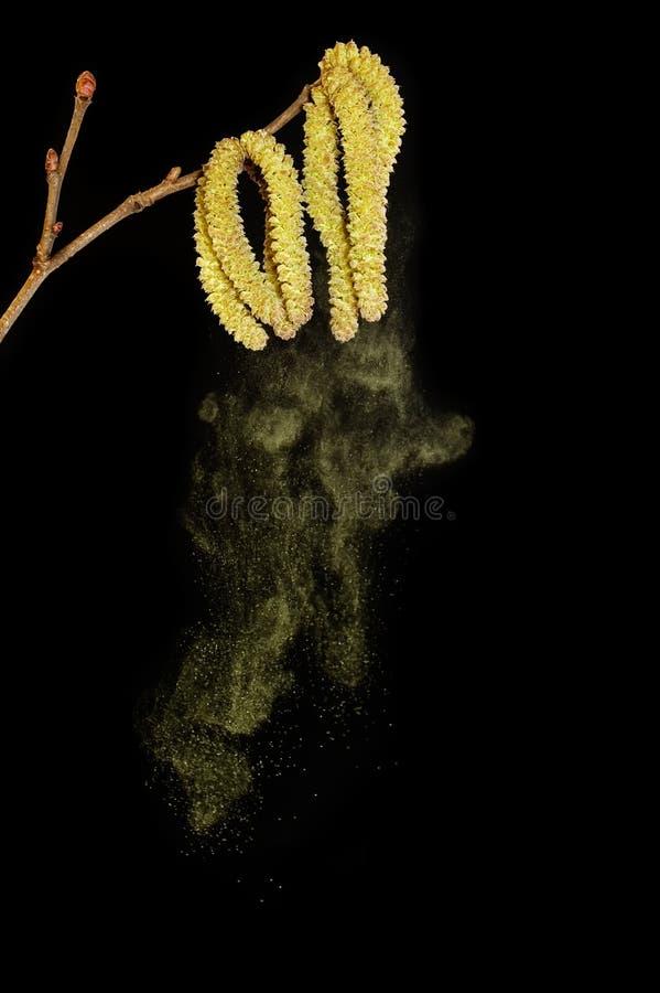 Stuifmeel dat van berk valt stock afbeelding