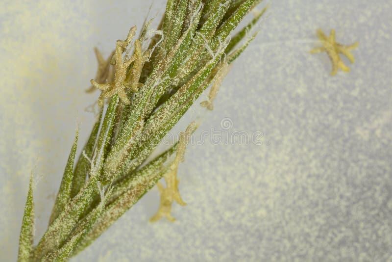 Stuifmeel, gras - allergenen stock afbeelding