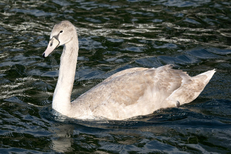 Download Stum Svan, Cygnusolor, Lago Di Grada, Italien Arkivfoto - Bild av djurliv, mute: 78731810