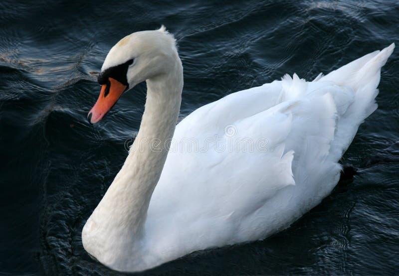 Stum svan för vit svan royaltyfri foto
