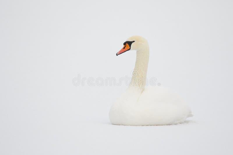 Stum svan i vit snö royaltyfria bilder