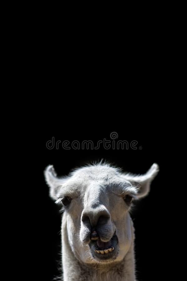 Stummes Tier Oben Hauptknallen des doof Lamas Lustiges meme Bild lizenzfreies stockbild