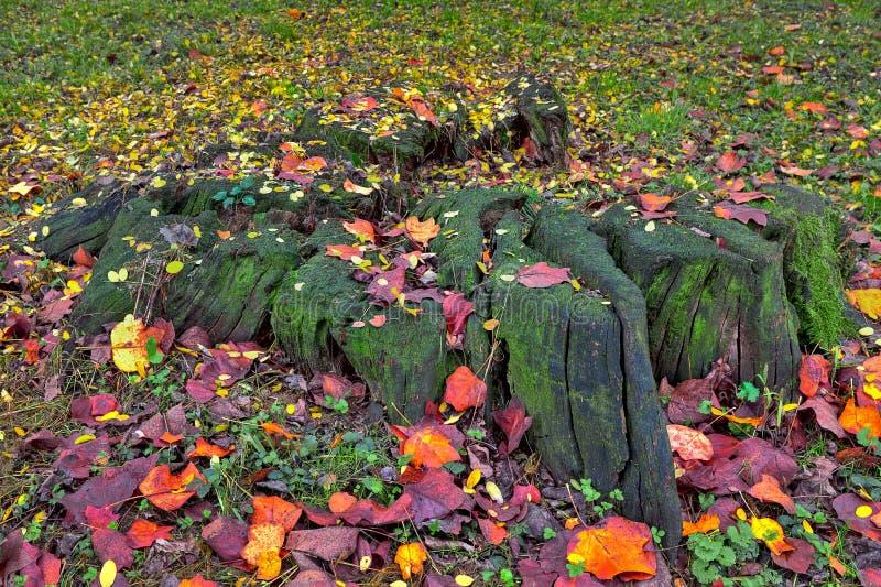 Stump avec de la mousse et les feuilles automnales au sol photographie stock