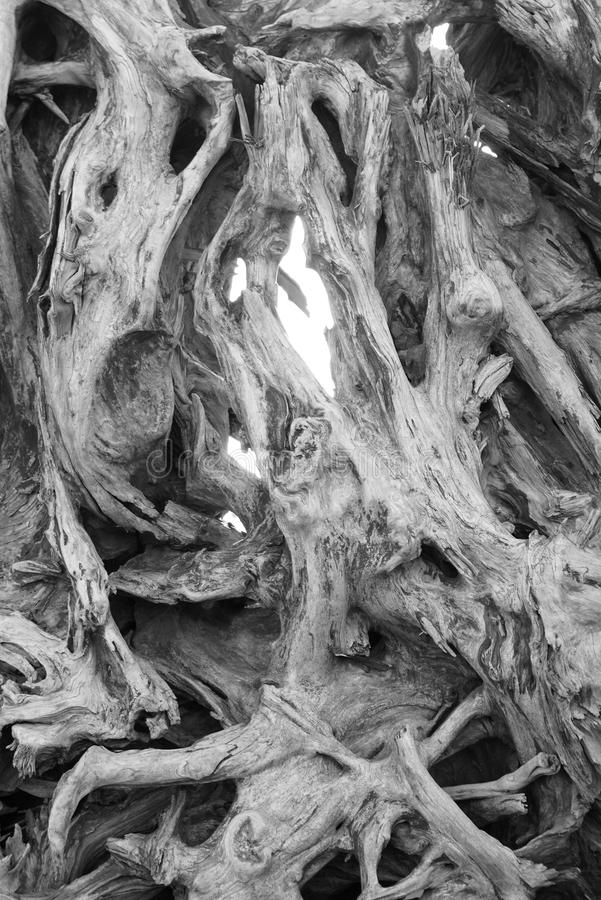 Stump in Black and White. A whorled holey weathered gnarled eroded and upended tree stump in black and white stock photo