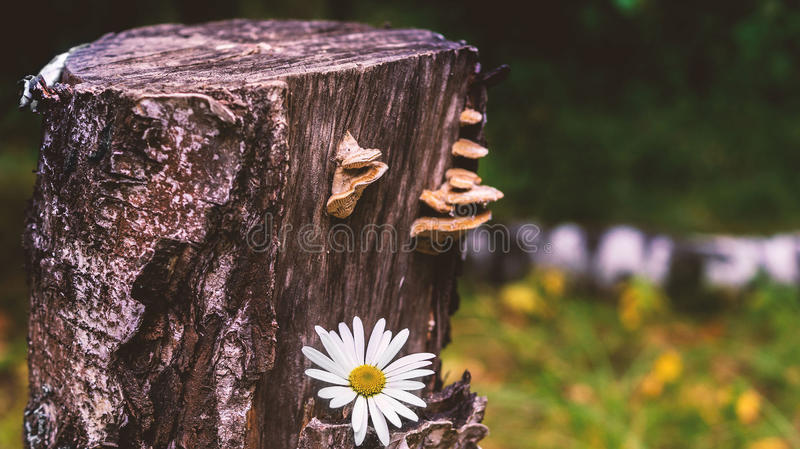 Stump with chamomile royalty free stock images