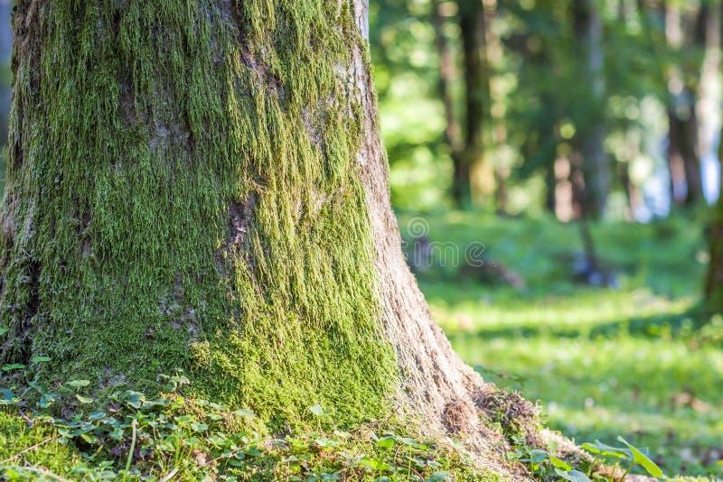 Stump con muschio ceppo di albero della foresta di autunno nel vecchio coperto di Mo fotografia stock libera da diritti