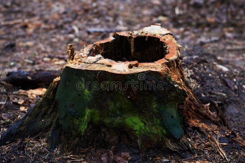 Stump con un agujero, putrefacto, la situación en un parque o en un bosque con los árboles de pino fotografía de archivo libre de regalías