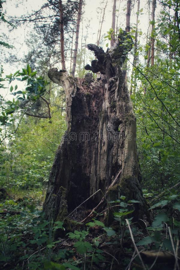 Stump of a fallen tree. Rotten old fallen tree stump standing in the forest royalty free stock photo