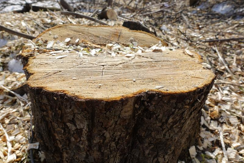 The stump of a felled tree on the background of wood chips. Destruction of nature. Concept of saving the planet royalty free stock image