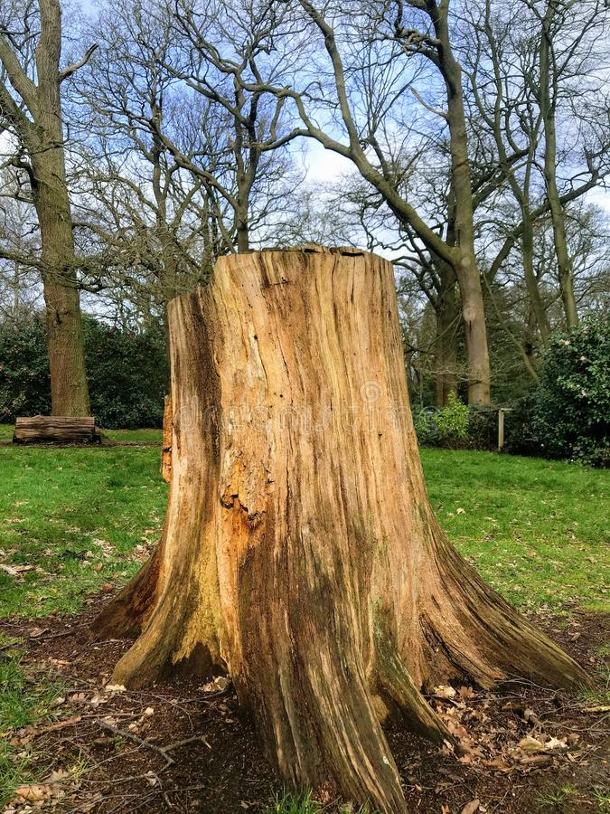 Stump in the forest. Big tree stump on clearing in the forest stock photography