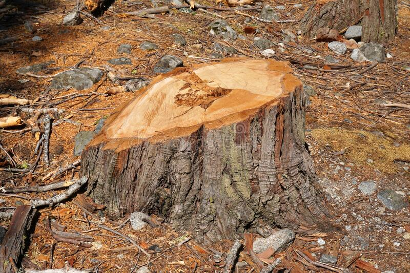 Stump after a freshly cut pine tree in the forest - Deforestation image concept.  stock photo