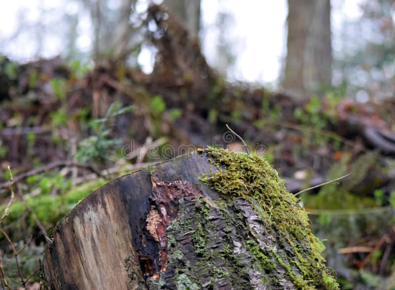 Stump in Grizedale. Artistic shot of a tree trunk deep in the Grizedale Forest Cumbria stock photography