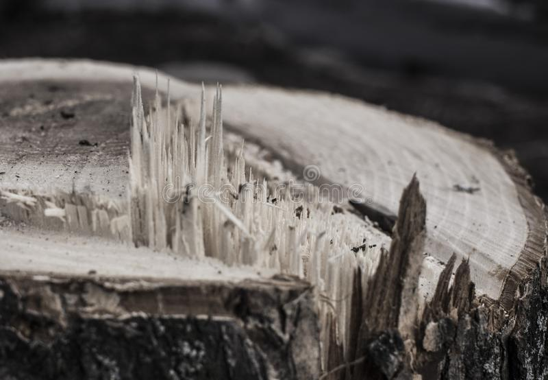 Wood texture. The texture of the tree is light brown, sawn, sliver. Background. Stump with protruding slivers. saw cut wood. unclean and anxious, tree, light royalty free stock photography