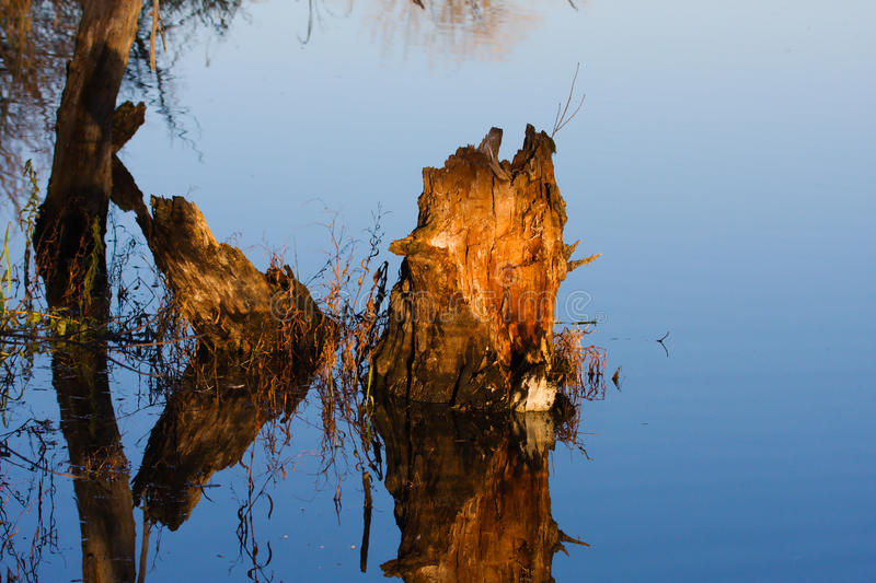 Stump in a Swamp. stock photo