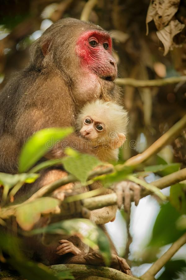 Stump-tailed macaque with a red face in green jungle stock photos
