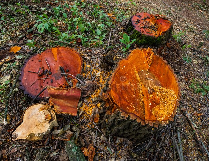 Stump valuable tree alders. Cutting valuable species of trees un. Der the pretext of sanitary cleaning the forest. Ukraine. Europe royalty free stock images